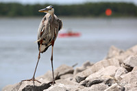 Heron with Kayaker in Background