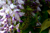 Wisteria in the Wild