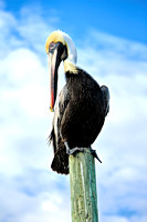 Pelican on a Piling