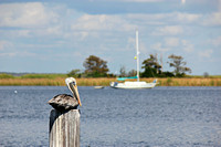 Pelican on the Apalachicola River